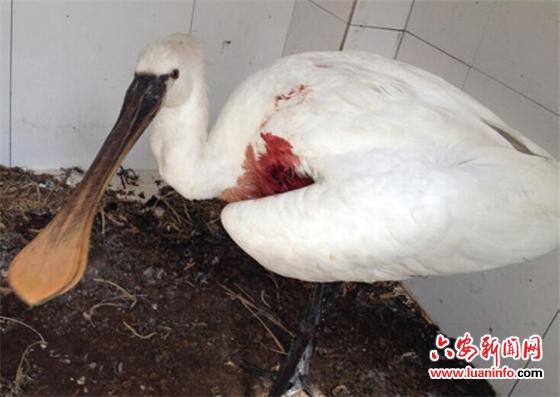 舒城:警民协力救助国家二级保护野生动物白琵鹭