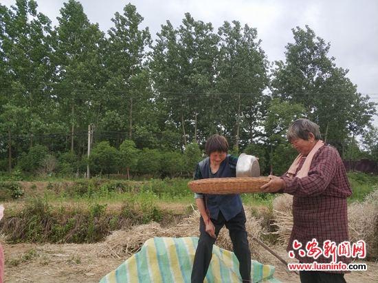 五显镇梅山村:高产油菜喜获丰收