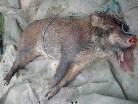 野猪 二级保护动物