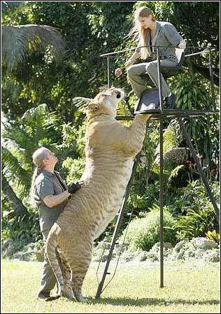罕见巨型狮虎兽与金发美女图